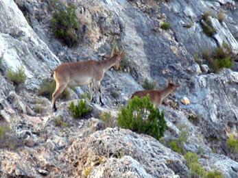 20070506200512-cabras-monteses-en-alcaine.jpg