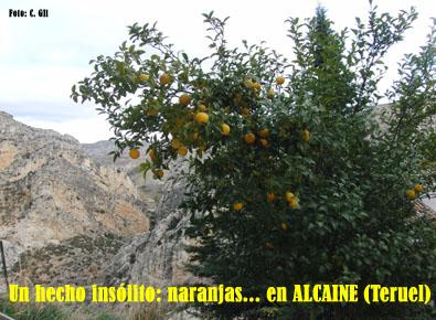 20091208170330-naranjas-en-alcaine-teruel.jpg