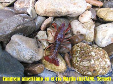 20100715163208-cangrejo-alcaine.jpg