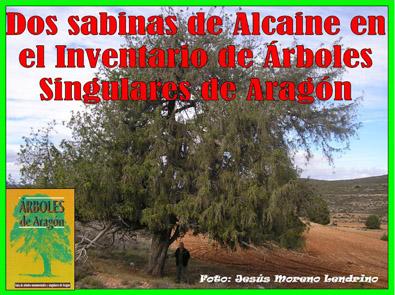 20131101224925-arboles-singulares-alcaine.jpg