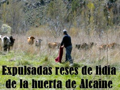20140403225822-vacas-invaden-alcaine.jpg