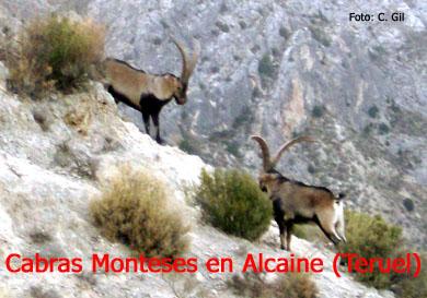 20090613110434-cabra-montes-alcaine.jpg