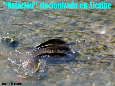 20111208121541-pecessincronizadosalcaine.jpg